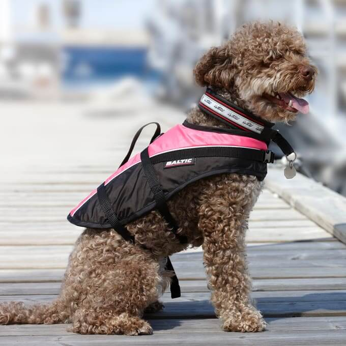 Poodle With Pink Lifejacket